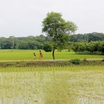 Image of paddy fields